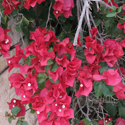 Bugenfil (Bougainvillea glabra Choisy)