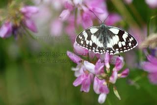 photo macro insecte dans la nature: papillon ailes ouvertes papillon vu de haut