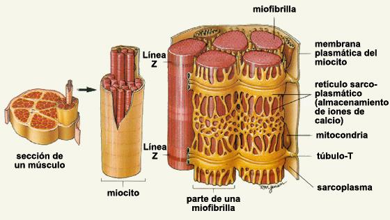 RETICULO SARCOPLASMICO EPUB
