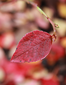 Podzimní borůvka