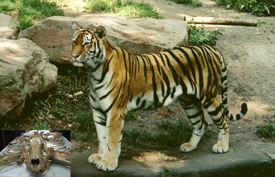 Panthera tigris L. (Family: Felidae)