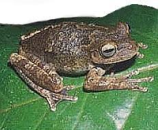 Perereca-da-Mata (Osteocephalus langsdorffii)