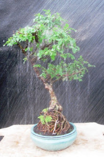 Watering the leaves of a Chinese Elm