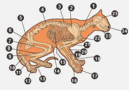 Susunan Kerangka Tulang Kucing