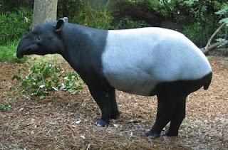sumatra tapir