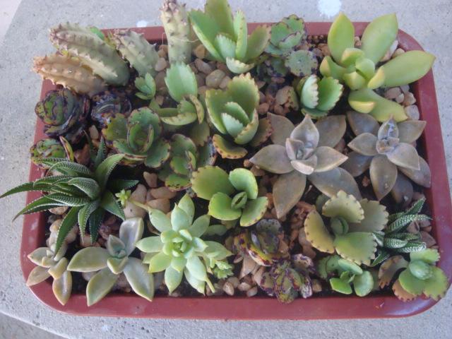 mini jardim cactos suculentas:Meu Jardim é Assim: Mini-jardins de cactos e suculentas, fiz mais