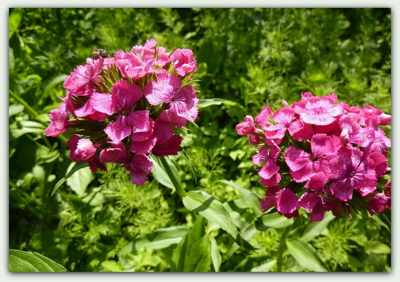 Цыганка цветок