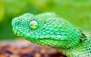 African Green Bush Viper HD Wallpapers
