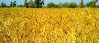 زراعة 175 ألف فدان بمحصول القمح في سوهاج