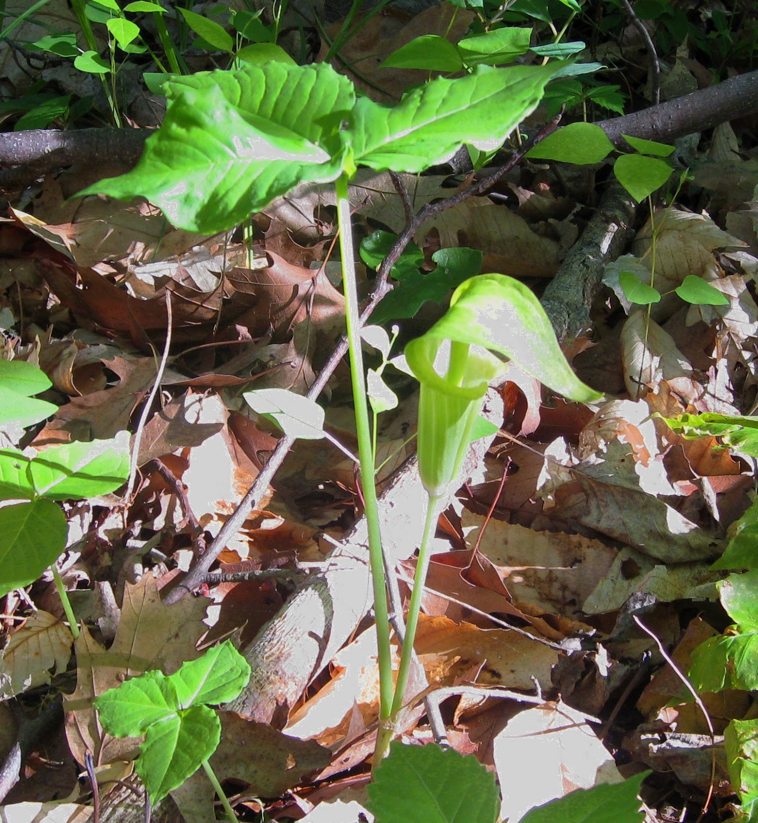 Image of jack-in-the-pulpit by K. R. Smith - may be used with attribution