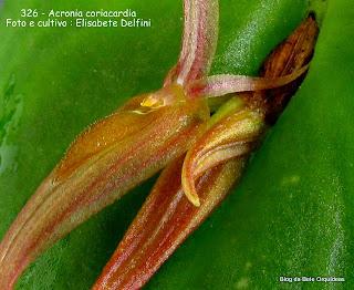 Pleurothallis coriacardia,, Pleurothallis corralensis, Pleurothallis leontoglossa, Pleurothallis smithii