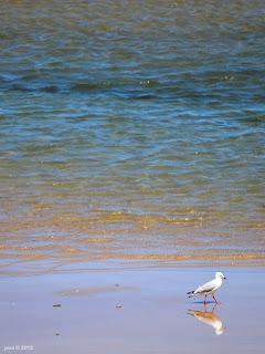 mirror gull