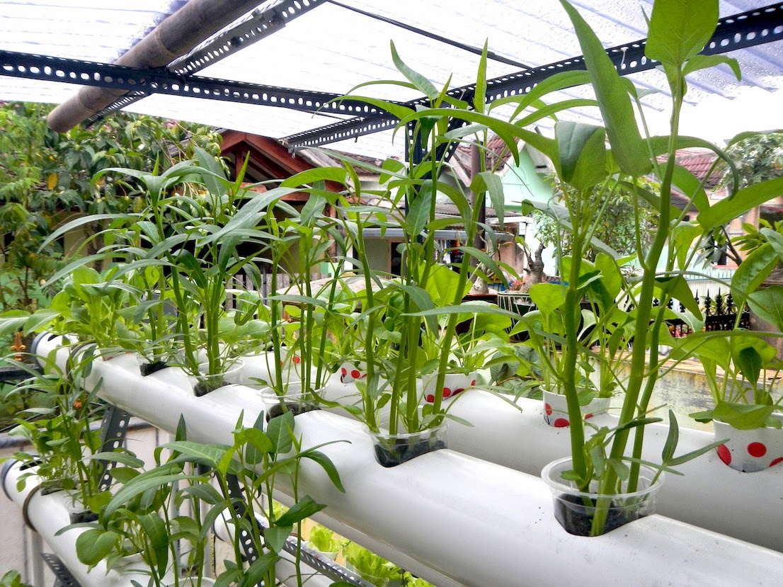 Hidroponik Sayuran Kangkung Budidaya Kangkung Hidroponik
