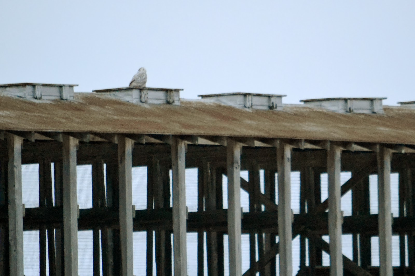 snowy owl sitting on a shed roof