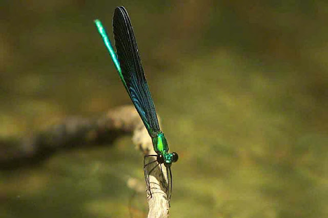 insect, damselfly, blue