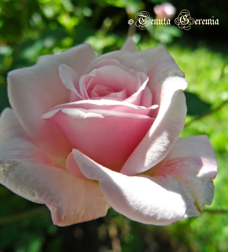 Cecile Brunner Polyantha Rose c Cile Brunner Polyantha Rose