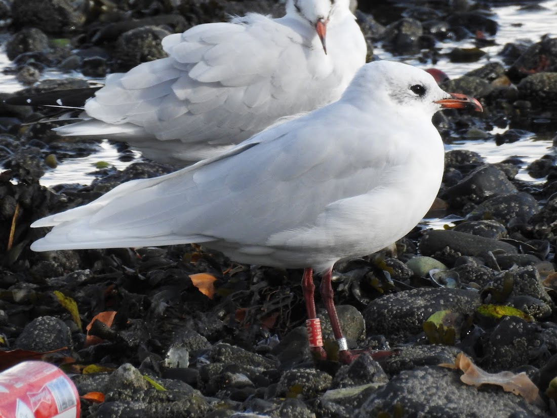Mediterranean Gull - Red PNU0 (16 Oct 2016 - Whiteabbey, Co. Antrim)