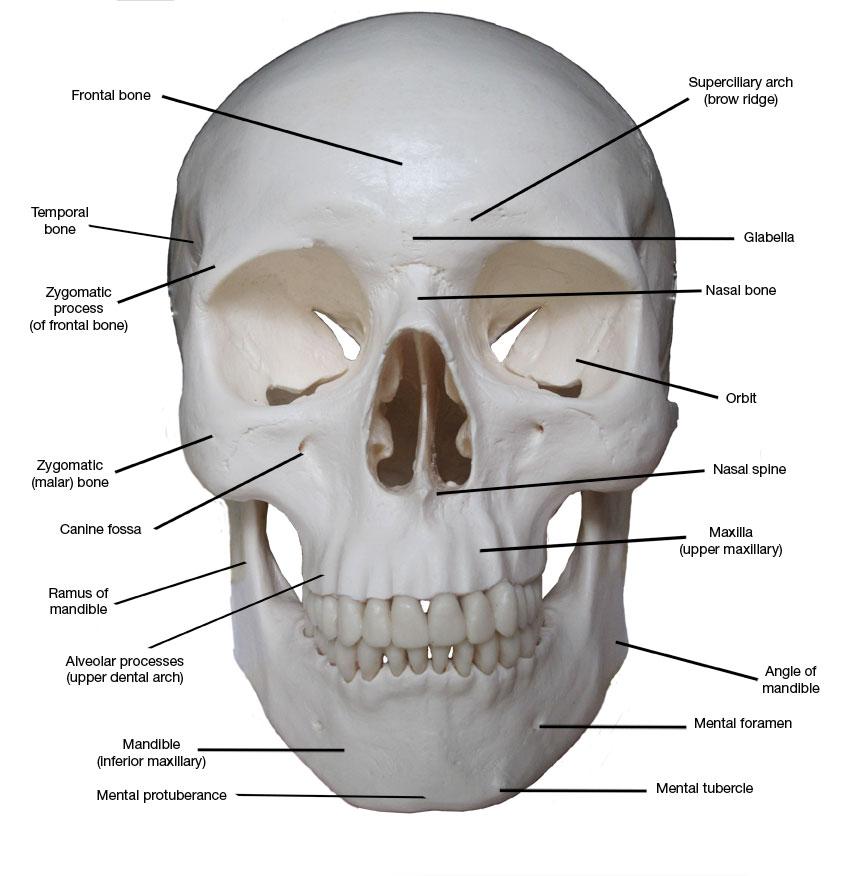 Anatomy of skull bones