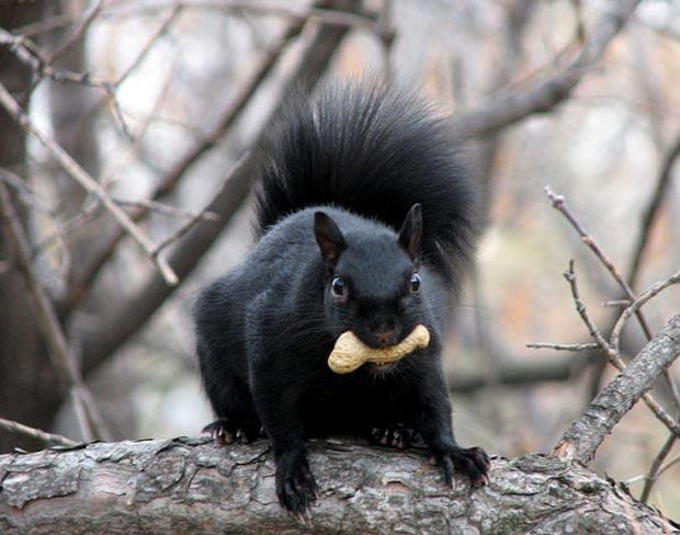 بالأسود أحلى حيوانات سوداء ولكنها جميلة melanistic-black-squ