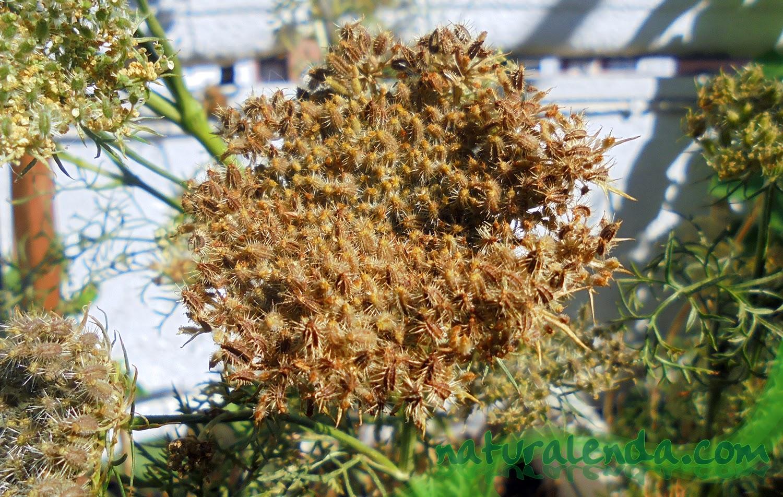 la flor de zanahoria repleta de semillas