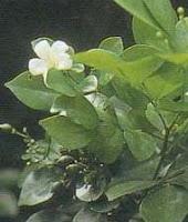 khasiat daun kemuning