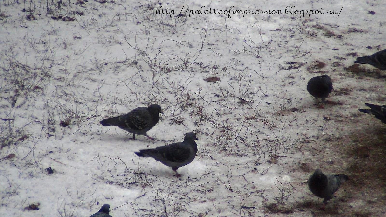 Первый снег. Блог Вся палитра впечатлений. Ижевск. Голуби пасутся