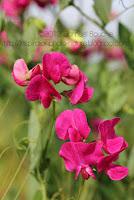 photo fleurs sauvages photo fleurs des champs pois de senteur