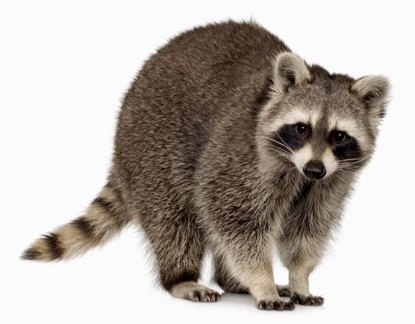 Tomkuu Maine Coon Kucing Raksaksa