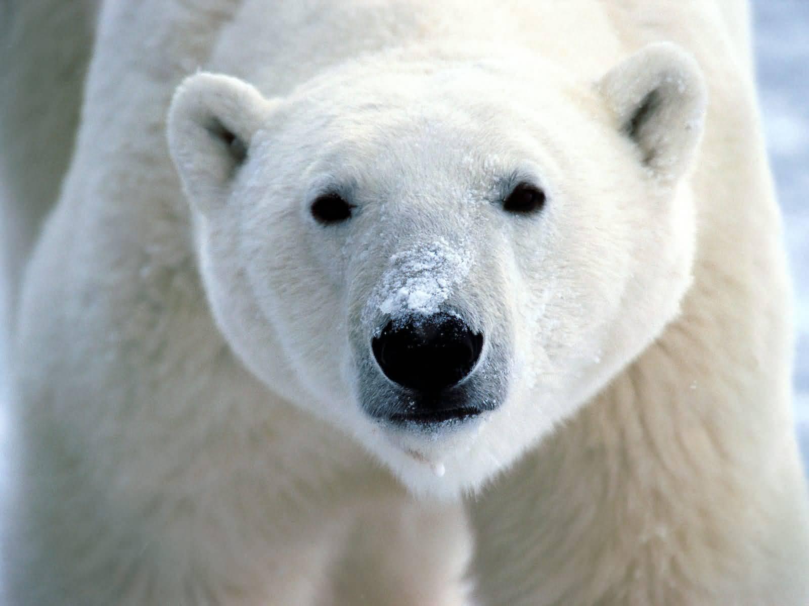 White Bear | Wild Life Animal
