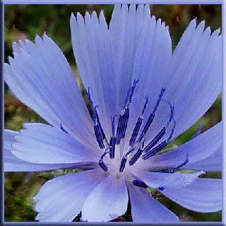 acımarul faydaları, hindiba otu, Papatyagiller, güzel çiçek, süs bitkisi, yem sebze,  bitki,  marul yetiştiriciliği, rüyada marul