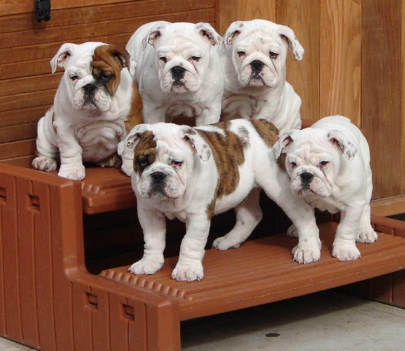 ... Builder | Pit Bulls: English Bulldog Puppy Pictures | Bulldog Pictures