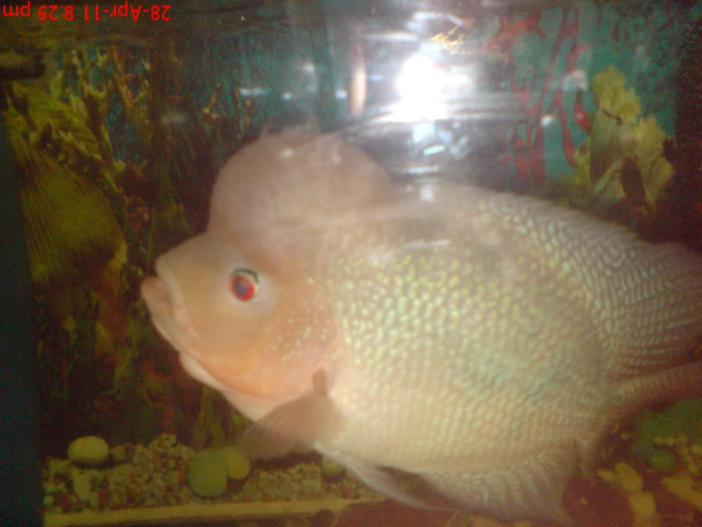 flowerhorn the hybrid cichlids: 11/02/11