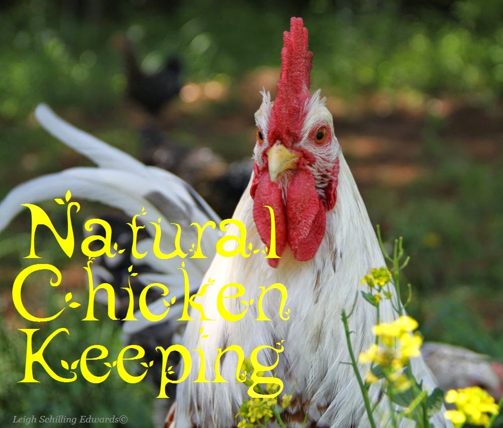 natural chicken keeping how do chickens