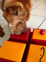 Shar Pei, Intelligenzspielzeug, Strategiespiel, Hund