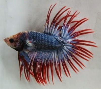 Ikanhias Info Ikan Hias Cupang Dan Gambar