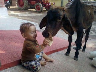 funny picture: child gives cow eating