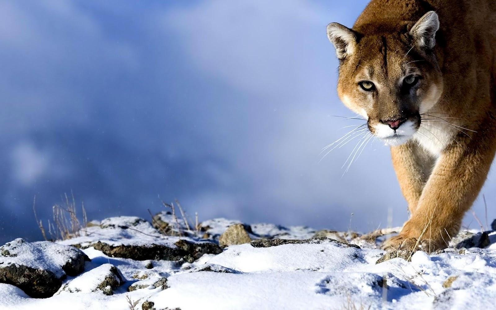 http://4.bp.blogspot.com/-tMcsvpgxWZE/UA3sPwCkgGI/AAAAAAAAFhk/wdyJ_hUDntg/s1600/Puma-HD-Wallpaper.jpg