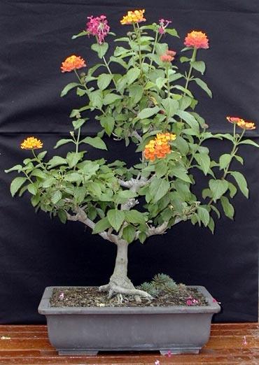 Home Garden And Landscaping Indoor Bonsai Trees