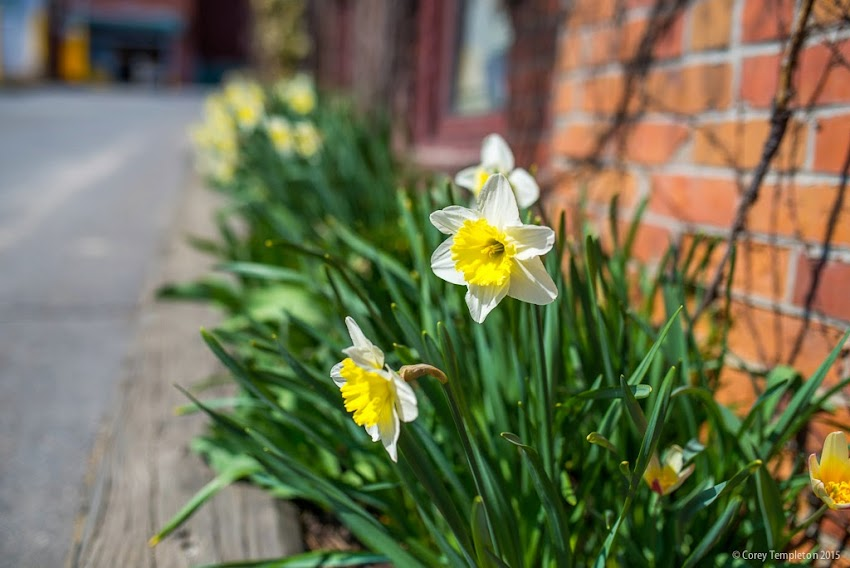 Portland, Maine April 2015 Springtime Flowers off of Free Street. Photo by Corey Templeton.