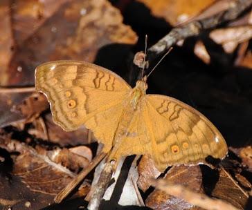 Butterfly, Fitzroy Island
