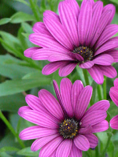 echinacea. pixappeal photography. carlas victorian heirlooms
