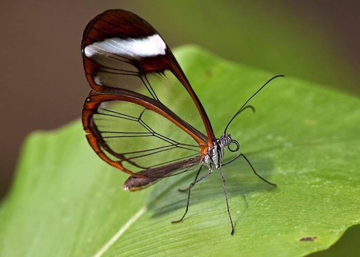 The glasswinged butterfly's name in Spanish is Espejitos which translates as little mirrors. In certain lights, the translucent wing parts have a glossy, almost reflective quality to them that makes their Spanish name effectively accurate. Whether they're seen as glass or mirrors, though, there's something absolutely fascinating about the way these butterflies' wings offer a surreal look at the environment around the insect. It's like they're tiny ornaments designed to draw the eye to the scenic appeal of nature.