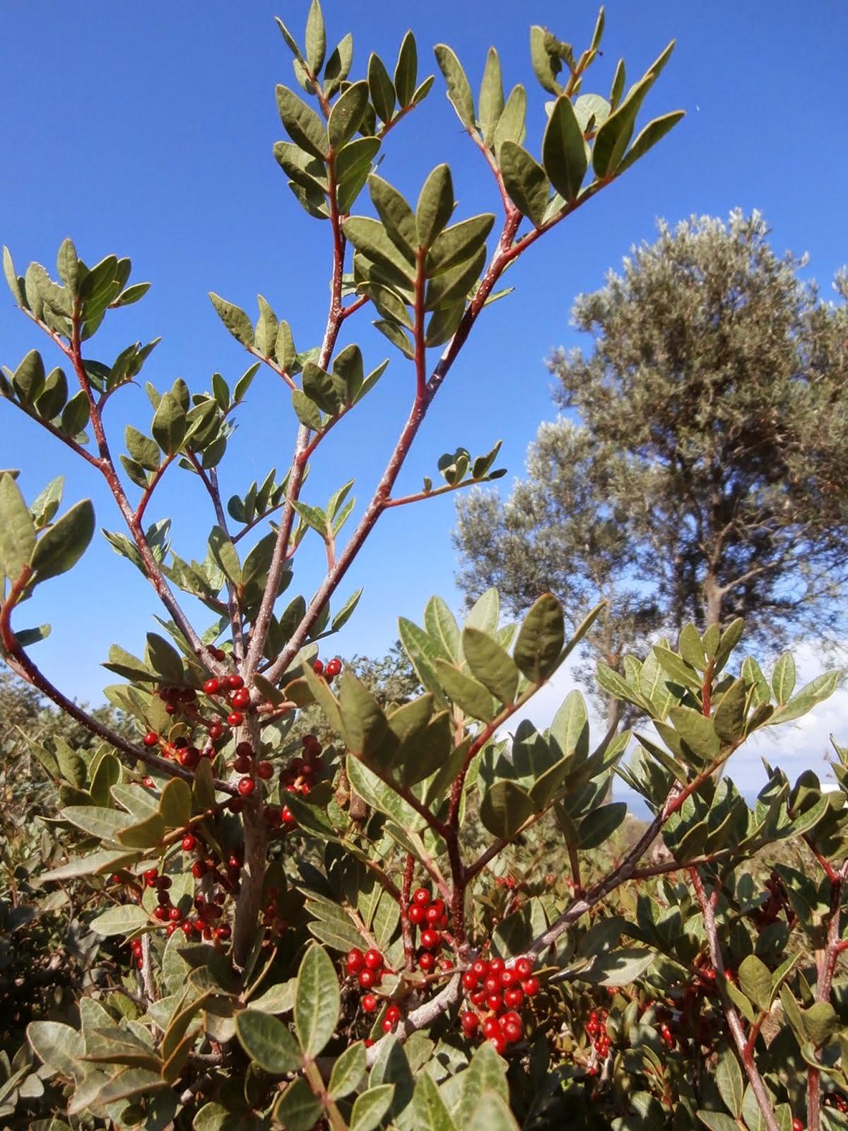 Mastic Bush, Olive Tree, October 2014