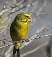 Asal-Usul Burung Kenari