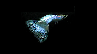 male Japan blue guppy