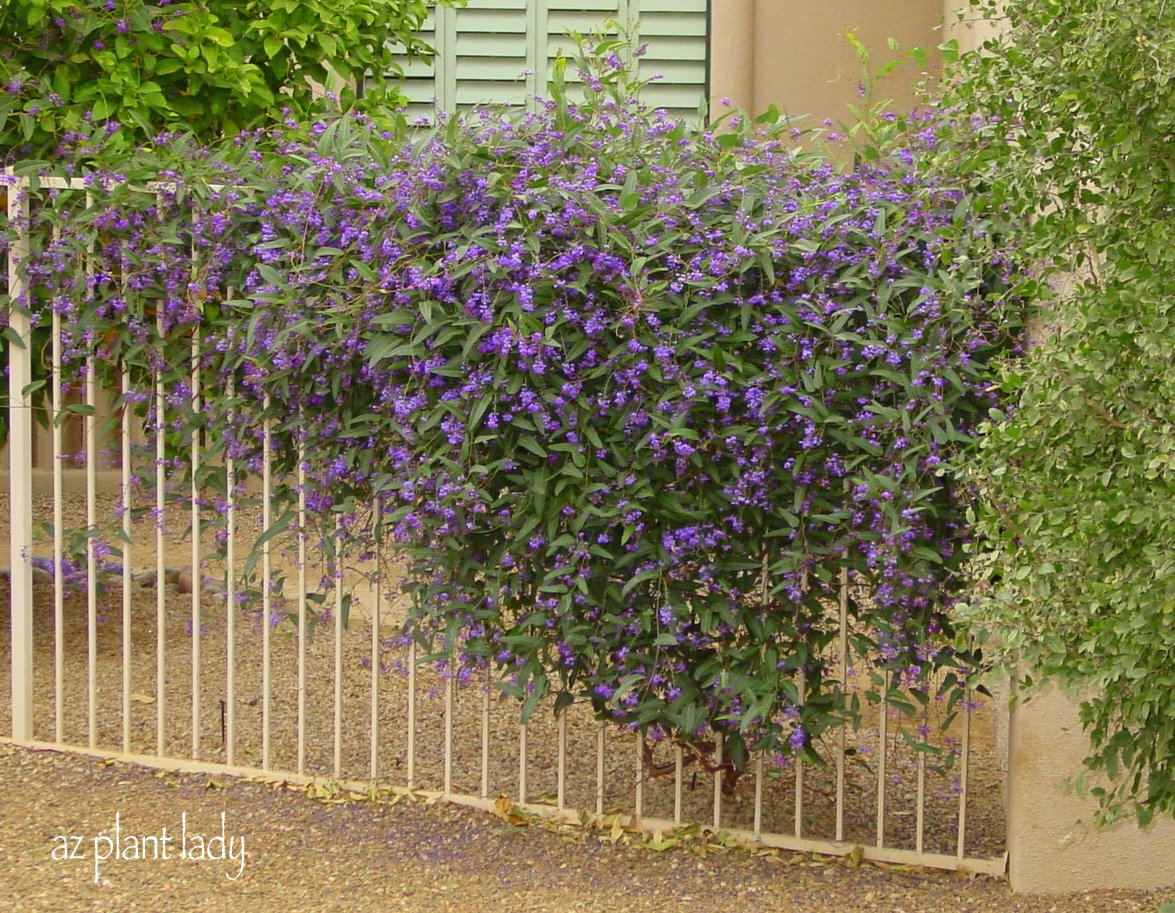 a lilac for the desert another great lesser known plant to try ramblings from a desert garden. Black Bedroom Furniture Sets. Home Design Ideas