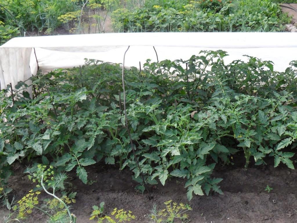 Все помидоры притеняю от солнышка - жара приближается к 35!