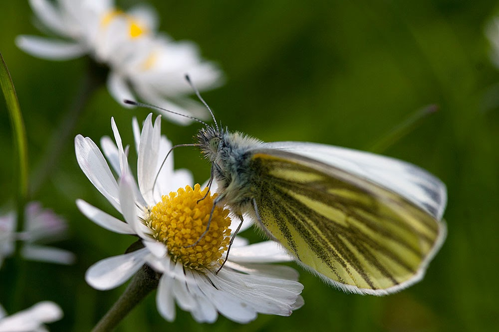 Green-veined White - Lodge Lake, Milton Keynes (2014)