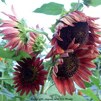 Multiple flower head of autumn beauty sunflower blossoms