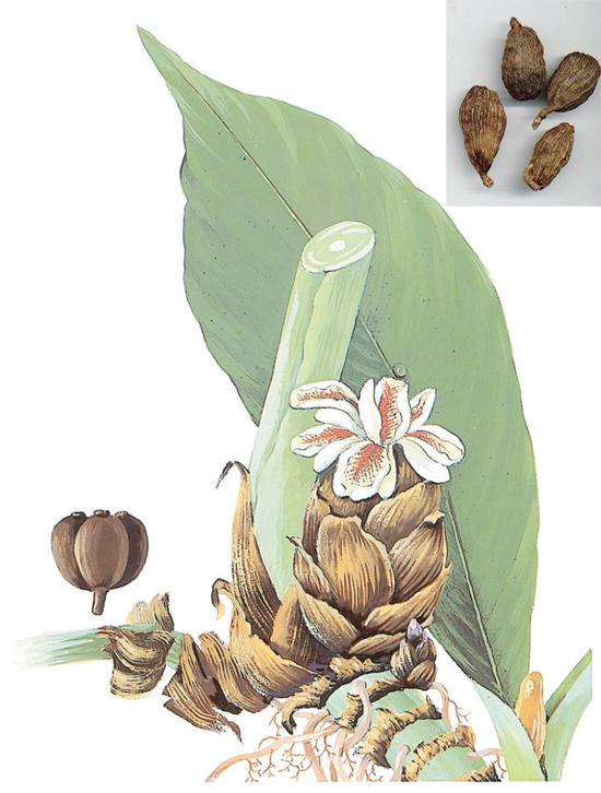 Amomum tsao-ko Crevost et Lemaire (Fam. Zingiberaceae)